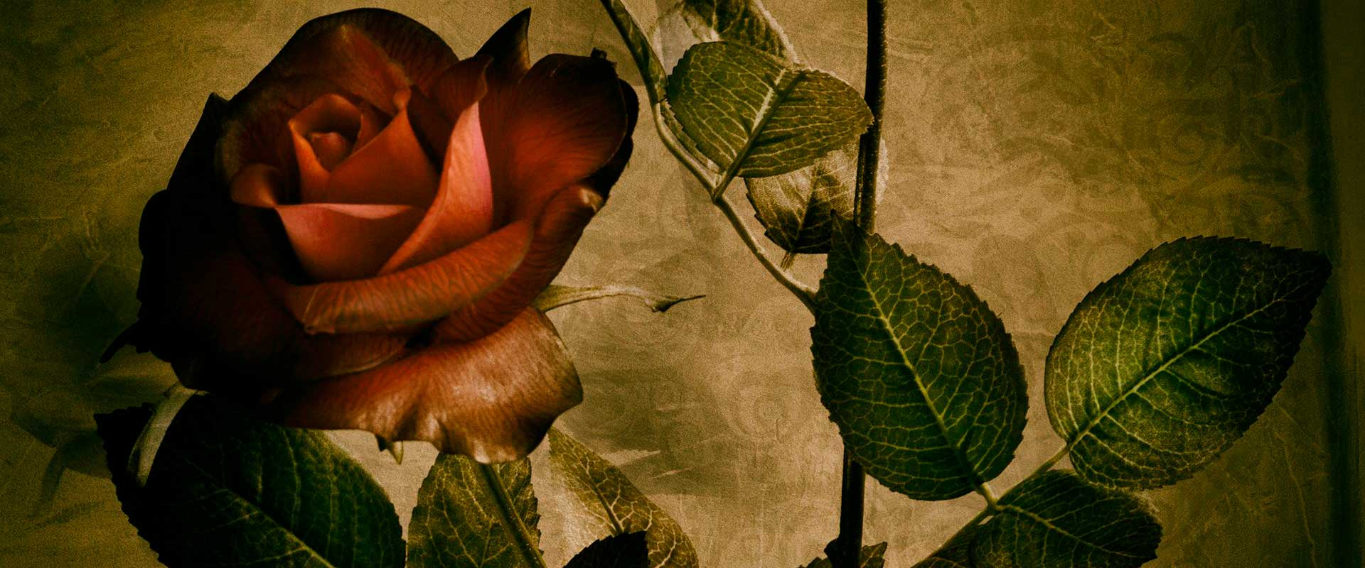 New_Montfort_Rose-1920x800